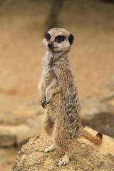 Meerkat at Paignton Zoo. Taken on 01-06-2012 - 12_31_52.jpg (atthezoouk) Tags: camera england meerkat devon zoos paignton paigntonzoo animalphotos biaza canoneosrebelt1i othermammals