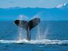 一隻用尾巴拍打海面的座頭鯨。 (happygirlhk) Tags: 海洋 範例 野生生物