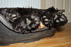 Let Sleeping Dogs Lie (Photo Gal 2009) Tags: paw sleep slumber fluffy blackdog tired paws asleep cockerspaniel shattered bazil dogpaw deadbeat sleepingdog dogtired 40winks englishcockerspaniel letsleepingdogslie fluffyfeet blackcockerspaniel fluffypaws workingcockerspaniel englishworkingcocker