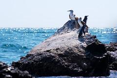"""_DSC5604  """"Blue-footed Booby"""" """"Piquero Patas Azules"""" and """"Galapagos Penguin"""" """"Pinguino de las Galapagos"""" (ChanHawkins) Tags: las de bay galapagos patas area april pm bay"""" 11"""" penguin"""" """"galapagos booby"""" """"bluefooted azules"""" galapagos"""" shoreline"""" """"piquero """"thurs """"pinguino """"isabellaelizabeth"""
