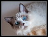Capitano - Ragdoll cat (marcofilzi) Tags: blue italy cat nikon blueeyes ita gatti ragdoll capitano laspezia ragdollcats d300s marcofilzi