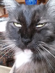 Dusty's Face (Philosopher Queen) Tags: dusty cat chat kitty whiskers gato blacksmoke