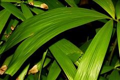 Calamus caryotoides (andreas lambrianides) Tags: leaves leaf australianflora arecaceae climbingvine australiannativeplants compoundleaves arfp australianrainforests australianrainforestplants calamuscaryotoides fishtaillawyercane qrfp arfcp australianrainforestclimbingplants cyrfp rainforestclimbingplants petiolekf fishtaillawyer climbingvineplant