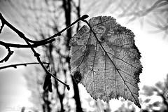 Le foglie, le vene, la vita..