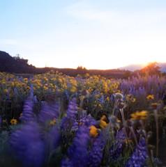 Wildflowers in the Wind (po1yester) Tags: flowers film oregon hasselblad columbiarivergorge rowenacrest summer2009