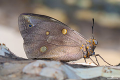 Borboletas (Jefferson Allan - Photographer) Tags: macro canon lente borboletas