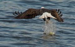 (digiphotonut) Tags: winter illinois baldeagle raptor mississippiriver alton melvinpricelocksanddam {vision}:{outdoor}=081 {vision}:{sky}=0612