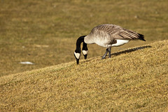 Two-headed Goose ;) (LongInt57) Tags: brown white canada black green grass birds geese bc feed