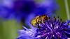 Bee loking for nectar in cornflower (shoyeb anwarul azim) Tags: bee honeybee bangladesh cornflower beemacro beeonblue