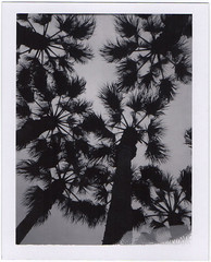Palms (Polaroid SF) Tags: sanfrancisco blackandwhite polaroid palmtrees southbeach expiredfilm