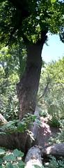 (Llwyn Bardd) Tags: summer maple treeclimbing sertomapark flickrandroidapp:filter=none