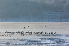 (snow and fog) (zhouyousifang) Tags: china winter snow bird fog  cranes  yunnan  2014    blackneckedcrane