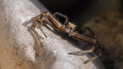 Shadow Hunter (zimoch84) Tags: shadow macro rock stone spider shadows hunting poland hide hunter 60mm hunt olympus60mmf28macro