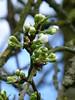 Plum blossom (seikinsou) Tags: ireland flower tree garden spring blossom plum orchard bud westmeath greengage