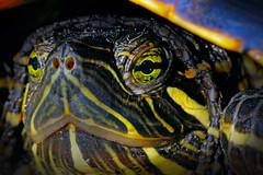 Painted Turtle (Macroscopic Solutions) Tags: eye animal animals eyes turtle reptile painted amphibian aquatic macropod animalia herps herpetology paintedturtle reptilia chrysemys emydidae chordata chrysemyspicta testudines easternpaintedturtle taxonomy:class=reptilia taxonomy:kingdom=animalia taxonomy:phylum=chordata taxonomy:genus=chrysemys taxonomy:species=picta taxonomy:order=testudines tortugapintada taxonomy:family=emydidae taxonomy:binomial=chrysemyspicta taxonomy:common=easternpaintedturtle zierschildkröte zierschildkrote taxonomy:common=zierschildkröte taxonomy:common=zierschildkrote taxonomy:common=paintedturtle taxonomy:common=tortugapintada macroscopicsolutions eyeaquatic tortugadorada taxonomy:common=tortugadorada