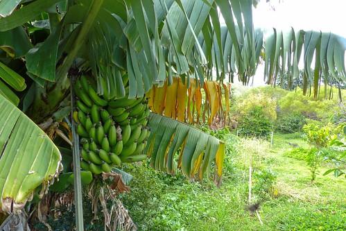 Banana Tree at Piliani Kope Coffee Farm