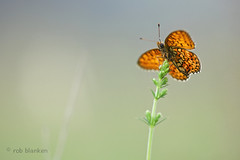Twin-spot Fritillary (Brenthis hecate, Dubbelstipparelmoervlinder) (Rob Blanken (www.rbblphotography.com)) Tags: bulgaria brenthishecate nikond800 twinspotfritillary sigma180mm128apomacrodghsm dubbelstipparelmoervlinderbrenthishecate dubbelstipparelmoervlinder