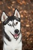 galerie de divers animaux... (rachidmiliani) Tags: autumn blackandwhite dog fall smile leaves outside happy husky outdoor siberianhusky sibe bieyed