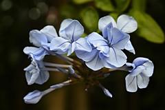 Flowers for Lunar New Year (austinjosa) Tags: flowers blue hongkong plumbago
