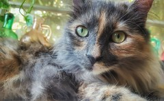 Isabella (suzeesusie) Tags: pet face animal cat eyes furry chat longhair kitty tortoiseshell gato katze tortie petportrait tortitude dilutetortie