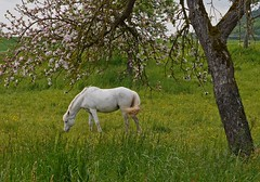 Elysium in the spring (heinrich_511) Tags: horse sun tree grass germany spring heart may meadow peaceful visit serenity 45mm nearbytrier