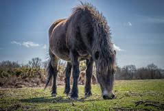 Pony (stuartgibbons95) Tags: uk sussex pony common chailey