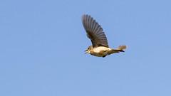 Whitethroat (rstewartb) Tags: people nature birds fauna scotland photographer unitedkingdom gb monkton whitethroat rjns ungroupedbirds