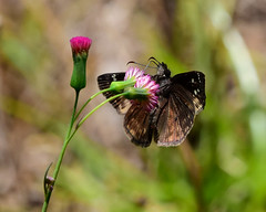 Horace's Duskywing on Florida Tasselflower (all one thing) Tags: flower nature butterfly insect wings wildflower coth floridatasselflower horacesduskywingbutterfly