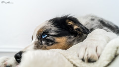 Little dreamer (ColognePhotograph) Tags: blue portrait dog pet cute fur photography photo eyes sweet blueeyes hund blau aussie augen photoart fell haustier welpe blaueaugen pubby australiansheperd colognephotograph