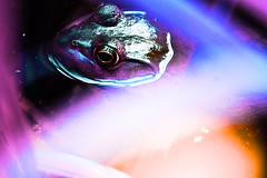 Frog Nebula (mheidelberger2000) Tags: summer color reflection nature water outside eyes midwest experimental reptile indiana frog telephoto overexposed trippy