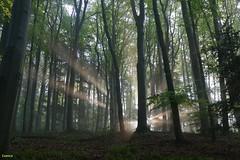 Selva negra en Glottertal Alemania (salvador cuenca navas) Tags: verde luz de plantas selva paisaje panasonic amanecer bosque rbol alemania rayo aire negra libre