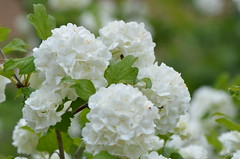 Snowballs (dfromonteil) Tags: white flower macro fleur spring bokeh neige blanche printemps boule