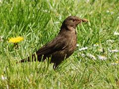 common blackbird, female (kotovod) Tags: turdusmerula commonblackbird merlenoir