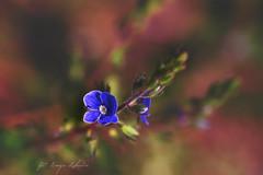 (kinga.lubawa) Tags: flowers flower colors canon spring sensual kwiaty wiosna kwiat kolory kolorowe soneczny sonecznie canon6d