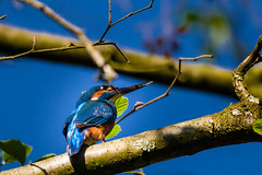 Kingfisher (JayPiDee (back)) Tags: bird animals deutschland tiere bigma wildlife hamburg halcyon kingfisher vgel vogel commonkingfisher alcedoatthis eisvogel