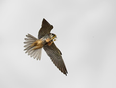 Hobby_3566 (Peter Warne-Epping Forest) Tags: suffolk dragonfly hobby birdofprey birdinflight rspb lakenheath falcosubbuteo
