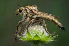 DSCF7600 (faki_) Tags: insect fuji fujifilm 24 60 250 dcr rovar xe1 raynoxdcr250 fujinonxf60mmf24rmacro