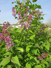 Lilacs (creed_400) Tags: west spring belmont michigan may lilac