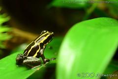 amazonegifkikker - Ranitomeya ventrimaculata - Reticulated poison frog (MrTDiddy) Tags: zoo amphibian frog gif antwerp poison dart antwerpen zooantwerpen kikker reticulated amazone amfibie gifkikker ranitomeya ventrimaculata amazonegifkikker