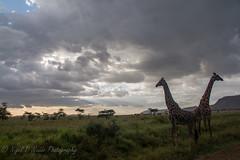 Giraffes Fight (Nigel Nudds Photography) Tags: elephant rain tanzania shower monkey rainbow buffalo lion butterflies pelican leopard zebra crocodile antelope cheetah giraffe baboon serengeti hyrax vervet hippos dikdik agama topis