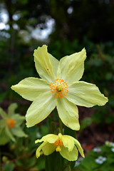 Himalayan Poppy. (lwts2000) Tags: yellow shropshire poppy himalayan hodnet lwts2000