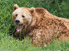 Grizzly Bear (brianeagar) Tags: bear nature animal outside outdoor wildlife idaho grizzly grizzlybear