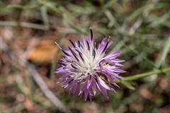 67Jovi-20160529-0041.jpg (67JOVI) Tags: macro valencia flora flor albufera racodelolla