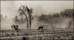 1988_0463-29_spot_20160113-8 (Ral Filion) Tags: horse mist canada tree nature field fog rural cheval country qubec paysage campagne arbre brouillard champ brume environnement beauce
