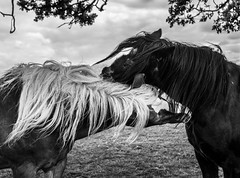 Pure Passion (is always black or white, never just grey ;-)...) (neerod81) Tags: friends horses bw monochrome gloomy outdoor windy passion pferde freunde zuneigung schwarzweis strmisch