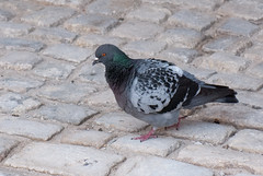 Fluffy pigeon (quinet) Tags: germany pigeon columbalivia 2012 rockdove kulmbach castleroad burgenstrase