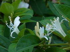 High five (nofrills) Tags: flowers plants plant flower green floral whiteflower flora honeysuckle shrub whiteflowers japanesehoneysuckle whiteandgreen