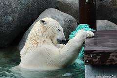 Ijsberen, Wildlands-7605 (Josette Veltman) Tags: zoo arctic ijsbeer icebear emmen dierentuin icebears noordpool roofdier wildlands ijsberen
