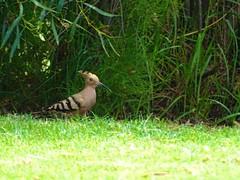 Wiedehopf (a.pri48) Tags: vogel wiedehopf