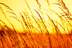 nature (Bruno MATHIOT) Tags: orange blur france color nature canon french eos 50mm europe outdoor alsace 18 extrieur couleur flou champ bl 760d